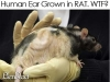 human-ear-grown-in-rat